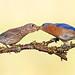 Eastern bluebirds (more below)