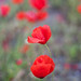 portrait of poppies