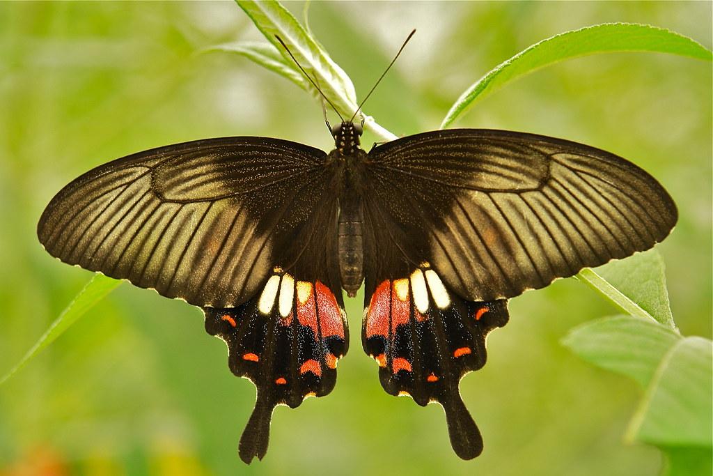 Common mormon female butterfly