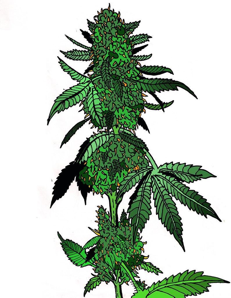 Marijuana-drawing-2.0 | Marijuana - 327.0KB