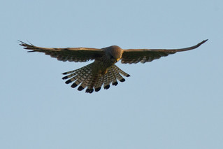 Kestrel (Falco tinnunculus) 6 | by asbimages.co.uk