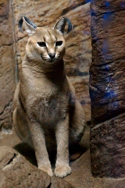 Are Caracal Cats Good Pets