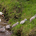 Cygnets at Ansty, Wilts 16