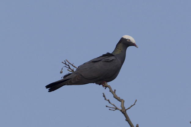 White crowned pigeon - photo#37