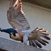 Peregrine Falcon - Adult Female by Jim Sullivan
