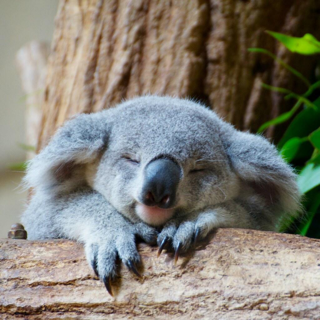 Koala at Higashiyama z...
