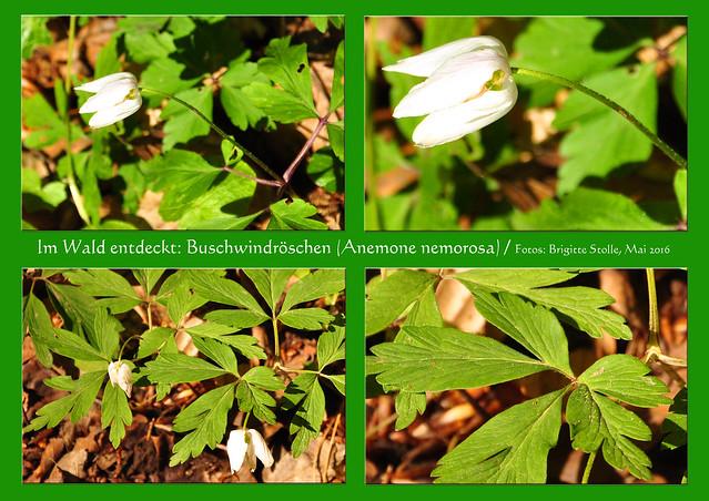 Im Wald entdeckt Buschwindröschen (Anemone nemorosa) Blüte im Mai Foto Brigitte Stolle Mai 2016