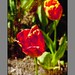 Red Tulip with Echo