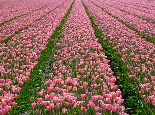 A pink dream - For Maria, who loves pink tulips! | by Frans.Sellies