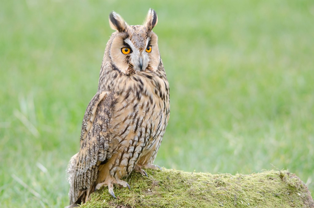 Long Eared Owl | Portrait shot at Trewitley Owl Trust in ...