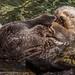 """Sea Otter """"Enhydra lutris"""""""