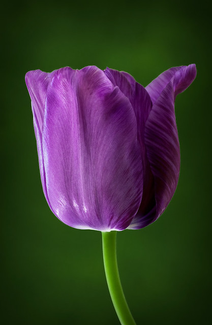 Single Late Tulip ~ Blue Aimable | Flickr - Photo Sharing! Single Blue Tulip