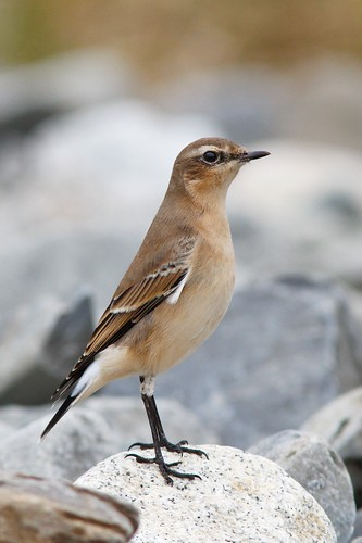 Northern Wheatear | by Doug Hitchcox