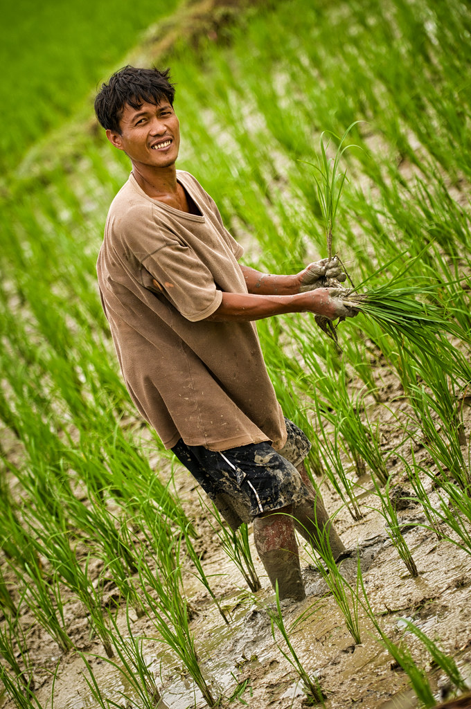 Planting Rice A Smiling Farmer Planting Rice In A Field
