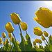 Yellow Dutch Beauty~Explored 24042012