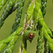 Juniper shieldbugs