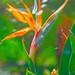 San Anotnio, Botanical Garden's Bird of Paradise