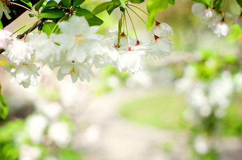 white blossoms | by I Should Be Folding Laundry