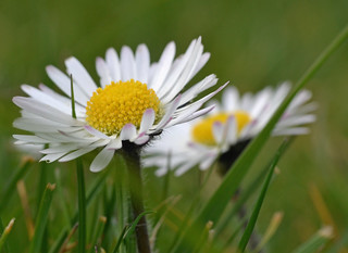 More Daisies | by conall..