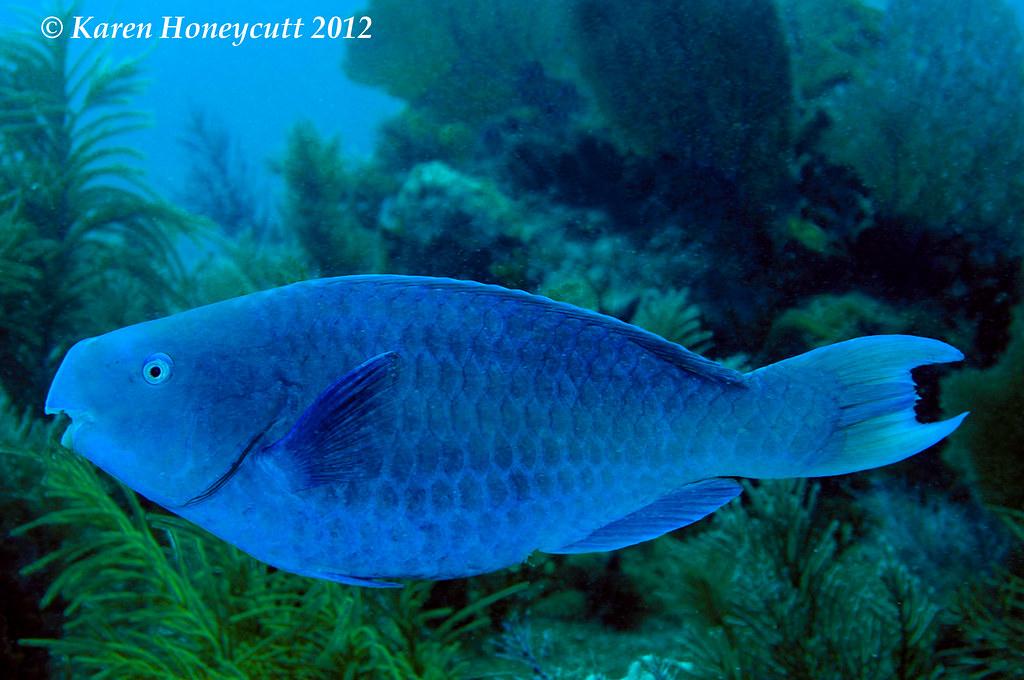 Scarus coeruleus blue parrotfish key largo florida for Blue fish florida