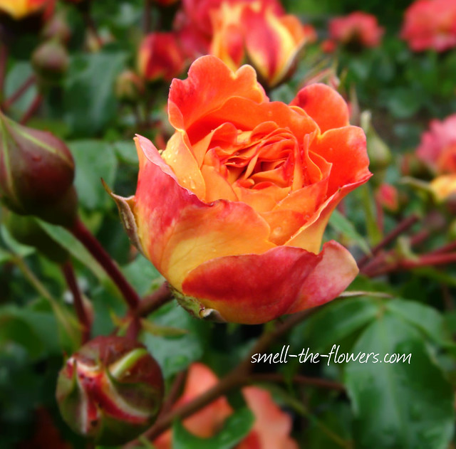 Роза сорта Гебрудер Гримм, фото фотография цветы