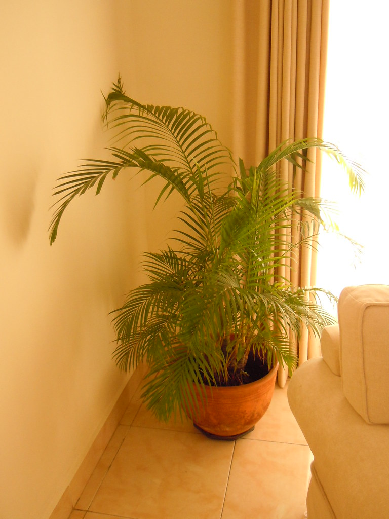 Indoor small palm tree this is a beautiful indoor palm tre flickr - Small trees for indoors ...