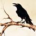 Raven 13