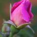 Bocciolo - Rosebud