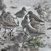 Semi-Palmated Sandpipers 2
