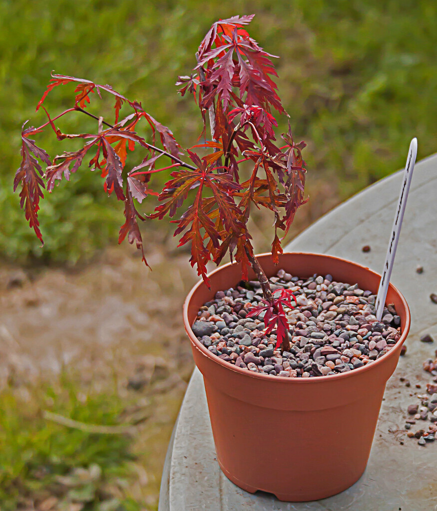 acer palmatum dissectum atropurpureum bonsai 1 two years. Black Bedroom Furniture Sets. Home Design Ideas