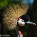 The beautiful Grey Crowned Crane