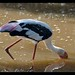 Painted Stork on duty