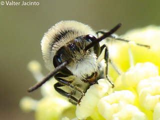 Uma pequena Abelha // Plasterer Bee (Colletes sp.), male | by Valter Jacinto | Portugal