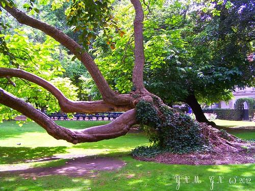Jardin du luxembourg arbre v n rable remarquable for Arbres jardin du luxembourg