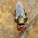 Mosca da família Ulidiidae // Fly (Physiphora alceae)