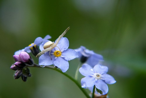 crab spider on a forget-me not | by Kpt. Haddock