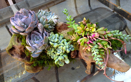 Succulents in Driftwood | by rollinggreensla