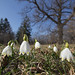 Frühlings-Knotenblume Großes Schneeglöckchen Spring Snowflake
