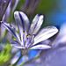 Agapanthus ( African Lily )