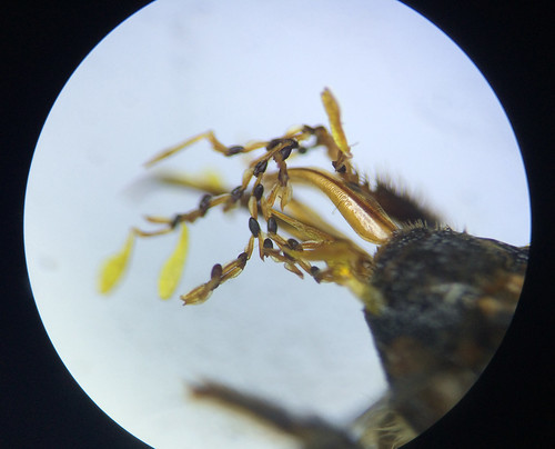 A close-up of the proboscis growths from a different angle.