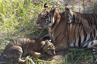 Mama's boys debut at the Safari Park | by San Diego Zoo Global