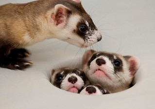 Mama Ferret Counts her Kits | by USFWS Mountain Prairie