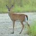 Whitetail deer buck 2-20120724