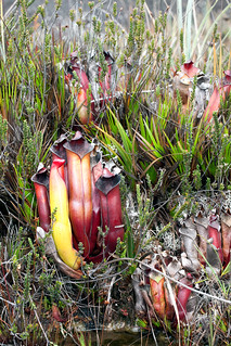 "Heliamphora purpurascens, Marsh or Sun Pitcher Plant in habitat, tepui ""I"", Canaima National Park, Bolivar, Venezuela 