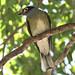 Figbird 130614 IMG_1588 DB