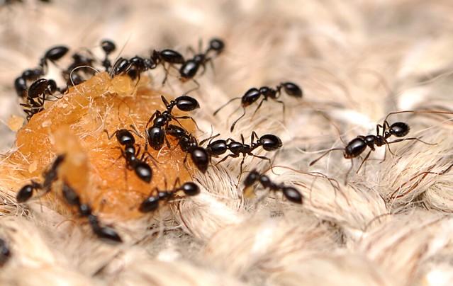 50個受調查的家庭中,螞蟻出現的機率是100%。攝影:Matthew Bertone。圖片來源:Bertone et al.。(CC BY 4.0)