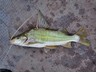 mekong giant carp
