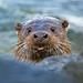 "Scottish Nature Photographer of the Year 2011! ""Cheeky Otter"""