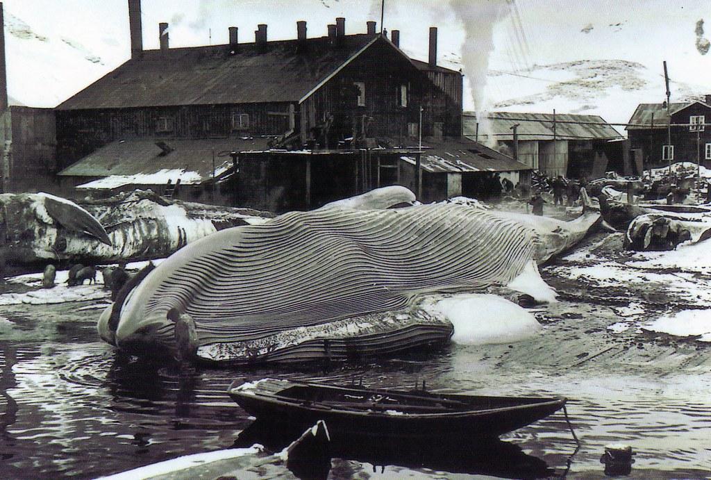 blue whale on the flensing platform at grytviken photo