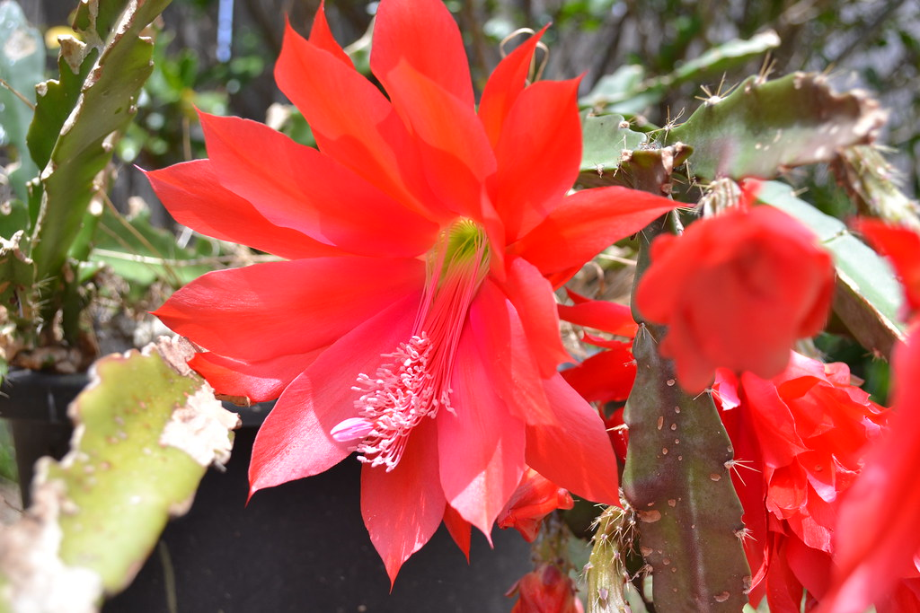 Red Cactus Flower This Is The Best It Has Ever Flowered
